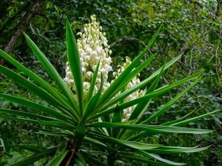 37 - Yucca aloifolia