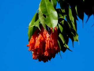 38 - Brownea ariza