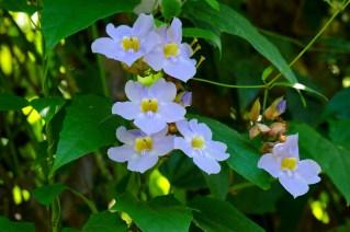 38 - Thumbergia grandiflora