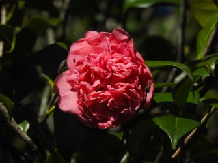 39 - Camellia japônica