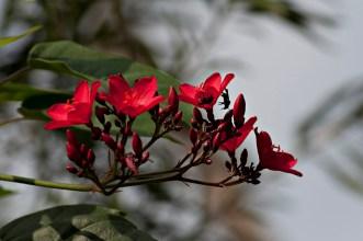 4-Jatropha panduraefolia
