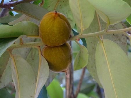 41 - Diospyros philippensis
