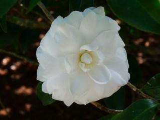 43 - Camellia japônica