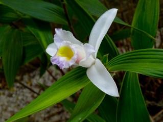 44 - Sobralia yaperensis