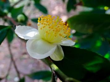 45 - Camellia sinensis