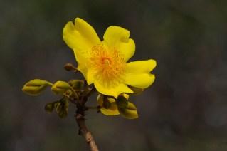 45 - Cochlospermum vitifolium