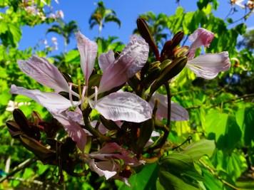 46 - Bauhinia variegata