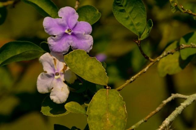 47 - Brunfelsia uniflora