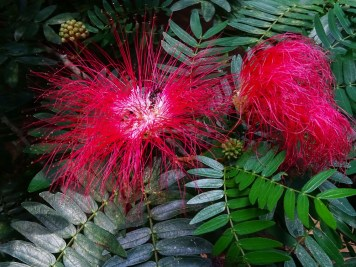 47 - Calliandra harrsii