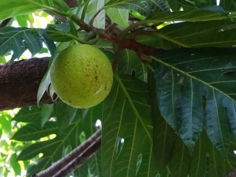 49 - Artocarpus altilis