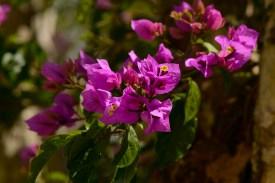 50 - Bougainvillea glabra