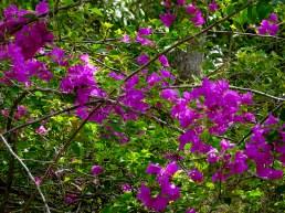 50 - Bougainvillea spectabilis