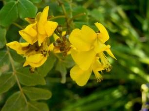 50 - Caesalpinia pyramidalis