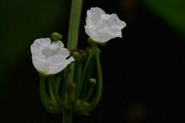 51 - Echinodorus grandiflorum