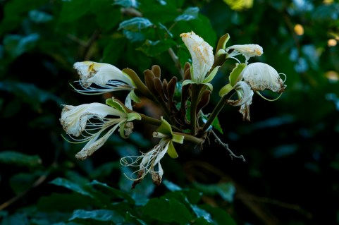 53 - Camoensia maxima