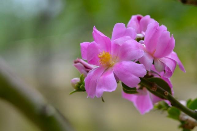 55 - Pereskia grandiflora