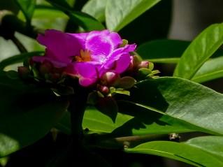 59 - Pereskia grandiflora