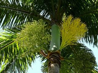 60 - Roystonea oleracea