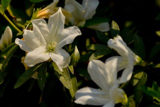 61 - Rhododendron simsii