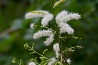 63 - Mimosa caesalpinae