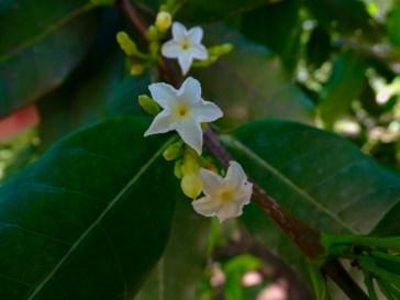 66 - Mascarenhasia arborescens