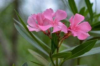 73 - Nerium oleander