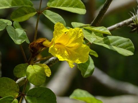 75 - Handroanthus chrysotricha
