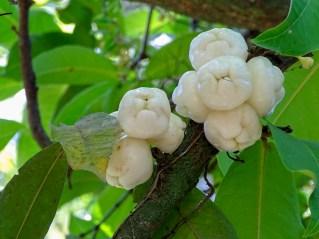 77 - Syzygium aqueum