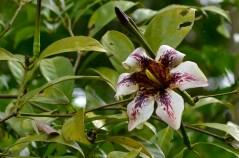 80 - Randia maculata