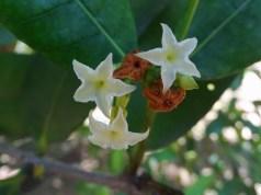 81 - Mascarenhasia arborescens