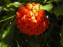 Brawnea grandiiceps -4