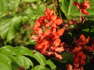 Clerodendron splendens- 18