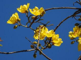 Cochlospermum vitifolium-28