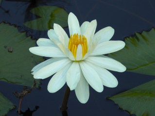 Nymphaea lotus-12