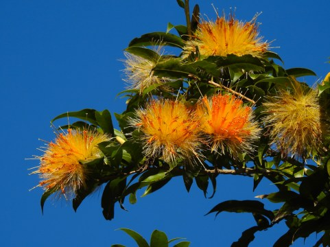 Stifftia crysantha- 25