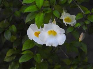 Thumbergia erecta -3