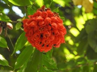05 - Brownea grandiceps
