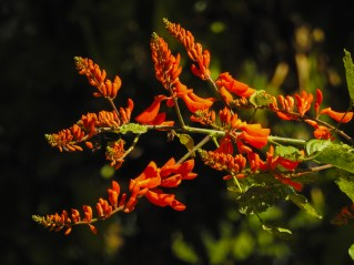 14 - Erythrina senegalensis