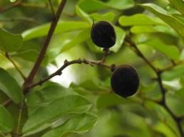 21 - Diallium guineense