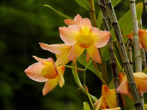 31 - Dendrobium moschatum