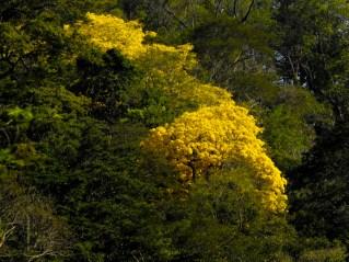 32 - Handroanthus chrysotricha