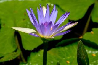 54 - Nymphaea caeruleae