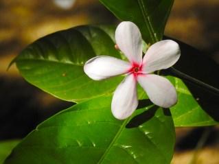 57 - Kopsia fruticosa