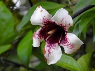 57 - Randia maculata