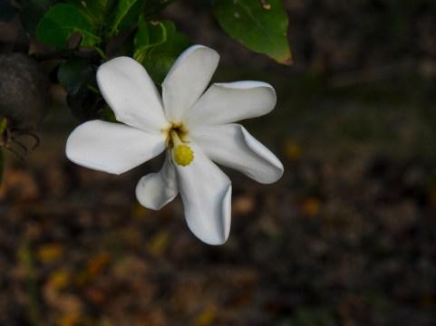 58 - Randia formosa