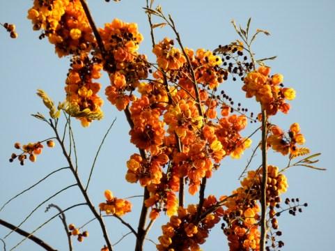 59 - Cassia moschata