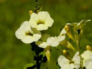 61 - Asystasia gangetia