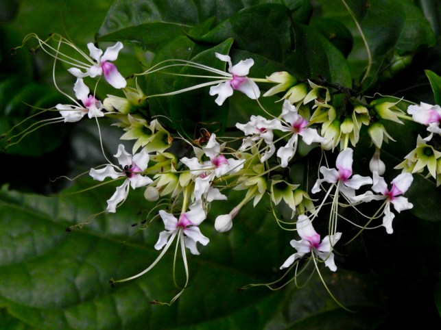 62 - Clerodendron trichotomum