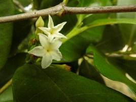 65 - Mascarenhasia arborescens