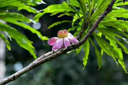 Gustavia gracilima